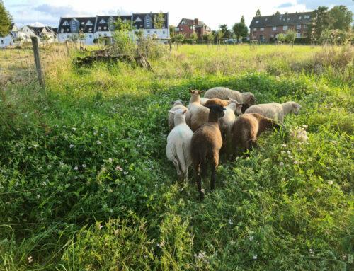 Die Schafe sind zurück!